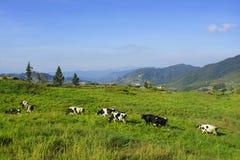 Молочные коровы в paddock есть свежую траву под голубым небом, новым Стоковая Фотография RF