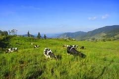 Молочные коровы в paddock есть свежую траву под голубым небом, новым Стоковые Изображения RF