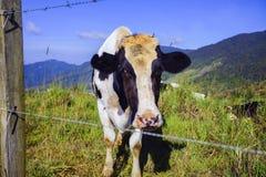 Молочные коровы в paddock есть траву под голубым небом, Новую Зеландию fress Стоковое фото RF