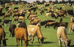 Молочные коровы Джерси в зеленом выгоне Стоковое Фото