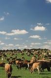 Молочные коровы Джерси в зеленом выгоне Стоковая Фотография RF