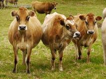 Молочные коровы Джерси, скотины стоковая фотография rf