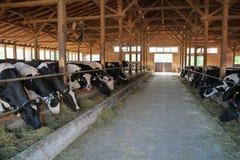 Молочные коровы есть сено в коровнике Стоковые Фото