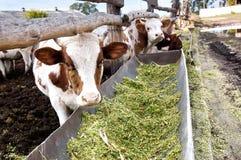 Молочные коровы едят silage в ферме Стоковое фото RF