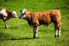 Молочные коровы на выгоне лета Стоковые Изображения RF
