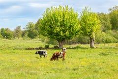Молочные коровы пася в луге Стоковое Изображение