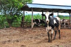 Молочные коровы стоковые изображения rf