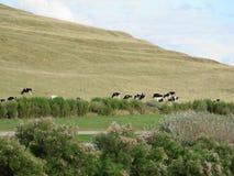 Молочные коровы Friesian Гольштейна Стоковое Фото
