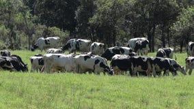 Молочные скоты на поле видеоматериал