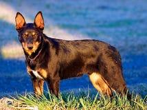 Молодая австралийская собака кэльпи стоковое изображение rf