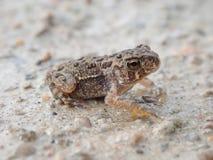 Молодая американская жаба на дороге Стоковая Фотография RF