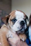Молодая английская собака щенка бульдога Стоковое фото RF
