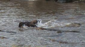 Молодая антилопа гну скачет над крокодилом и избегает смерть. сток-видео