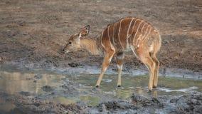 Молодая антилопа Nyala Стоковое Изображение
