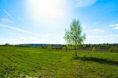 Молодая береза дерева на зеленом луге Стоковое Изображение