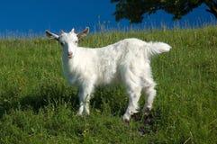 Молодая белая коза на зеленой траве Стоковые Фото