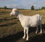 Молодая белая она-коза стоковые фотографии rf
