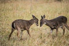 Молодая белизна 2 замкнула самцов оленя оленей уча воевать стоковые изображения rf