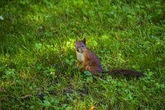 Молодая белка восточного Fox в саде Красный ест на луге травы Малый имбирь в парке Лужайка конца-вверх Сидеть Стоковые Изображения
