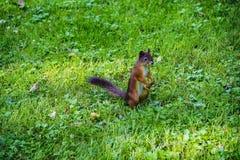 Молодая белка восточного Fox в саде Красный ест на луге травы Малый имбирь в парке Лужайка конца-вверх Сидеть Стоковые Фотографии RF