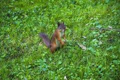 Молодая белка восточного Fox в саде Красный ест на луге травы Малый имбирь в парке Лужайка конца-вверх Сидеть Стоковое Фото
