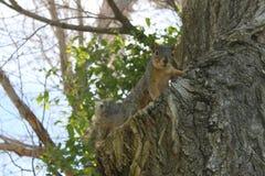 Молодая белка в дереве вяза Стоковая Фотография