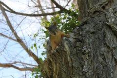 Молодая белка в дереве вяза Стоковое фото RF