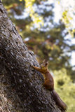 Молодая белка в лесе в одичалом Стоковая Фотография