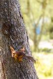 Молодая белка в лесе в одичалом Стоковое Фото