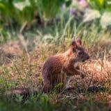 Молодая белка в саде Стоковые Фото
