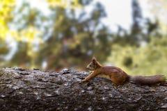 Молодая белка на дереве в парке Стоковая Фотография RF