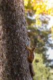 Молодая белка на дереве в парке Стоковые Фотографии RF