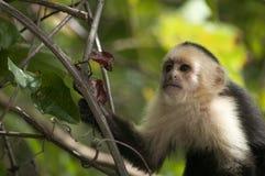 Молодая Бело-лицая обезьяна Capuchin, Ometepe, Никарагуа Стоковые Фото