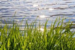 Молодая вегетация на краю воды Стоковое Изображение