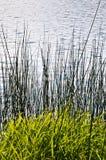 Молодая вегетация на краю воды Стоковая Фотография