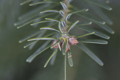Молодая весна sprigs сосны Стоковое Фото