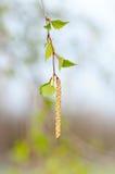 Молодая ветвь березы с бутонами и листьями Стоковая Фотография