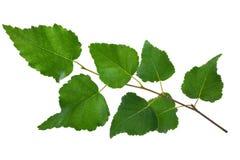Молодая ветвь березы стоковое изображение