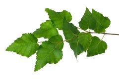 Молодая ветвь березы стоковое фото rf