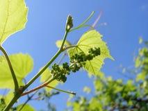 Молодая ветвь виноградин на предпосылке неба Стоковые Изображения