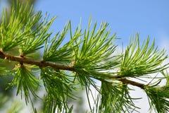 Молодая ветвь лиственницы Стоковая Фотография