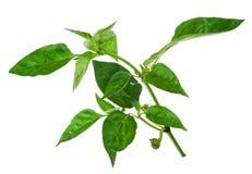Молодая ветвь перца с зелеными лист Стоковые Изображения