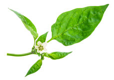 Молодая ветвь перца с зелеными лист Стоковое фото RF