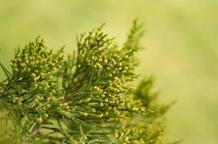 Молодая ветвь сосенки стоковое изображение rf