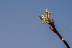 Молодая ветвь с бутонами Стоковое Изображение