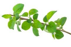 Молодая ветвь яблони стоковые изображения