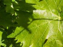 Молодая виноградина выходит зеленая флористическая предпосылка Стоковое Изображение RF
