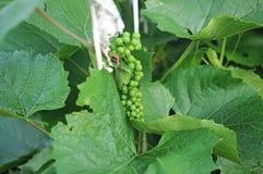 Молодая виноградина стоковые фото