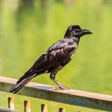 Молодая ворона с зеленой предпосылкой Стоковое фото RF