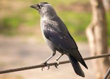 Молодая ворона Стоковое фото RF